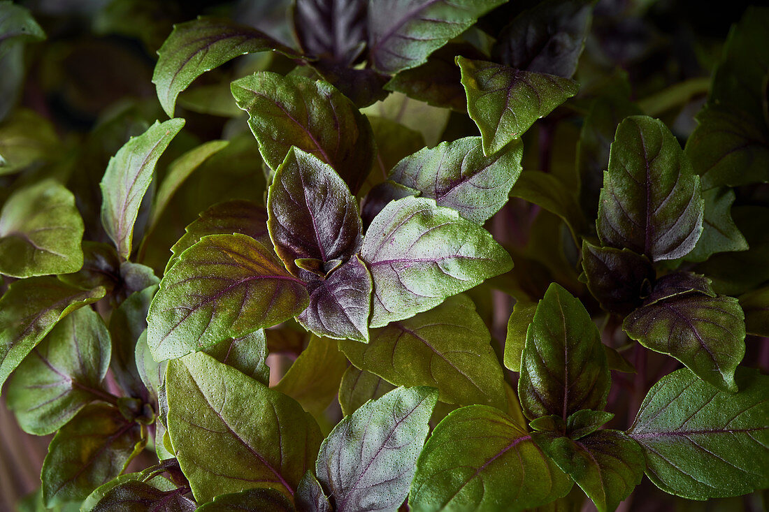 Basil with delicate green leaves