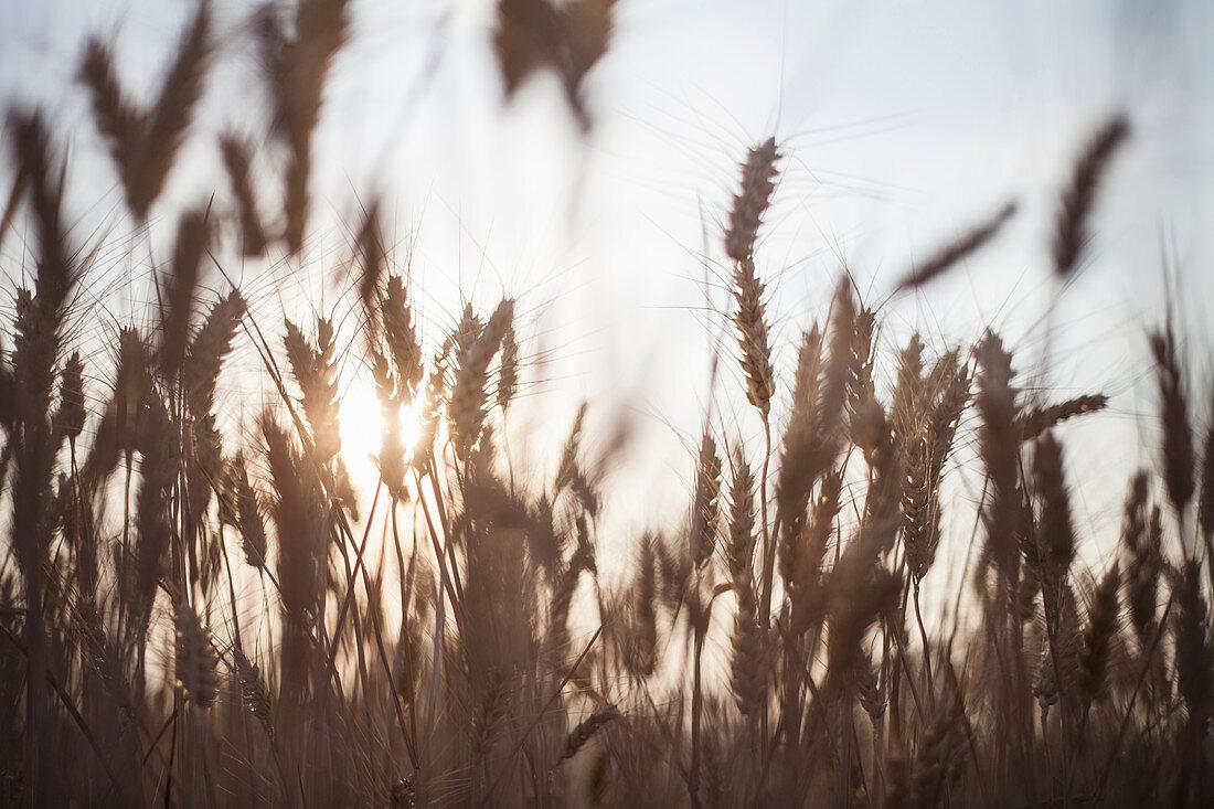 A field of dwarf wheat