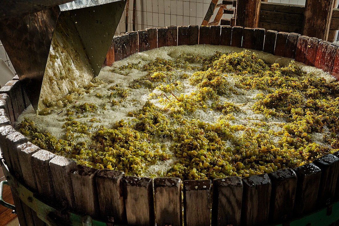 Wine being made: white wine grapes in a wooden barrel