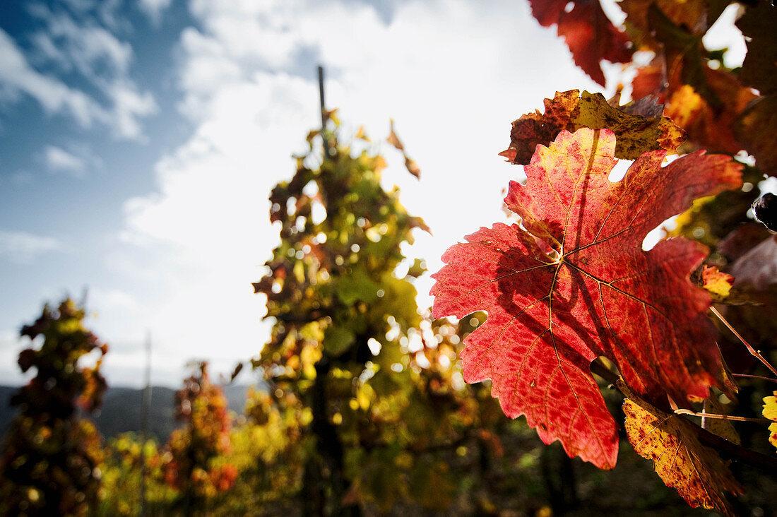 Autumnal leaves on a vine