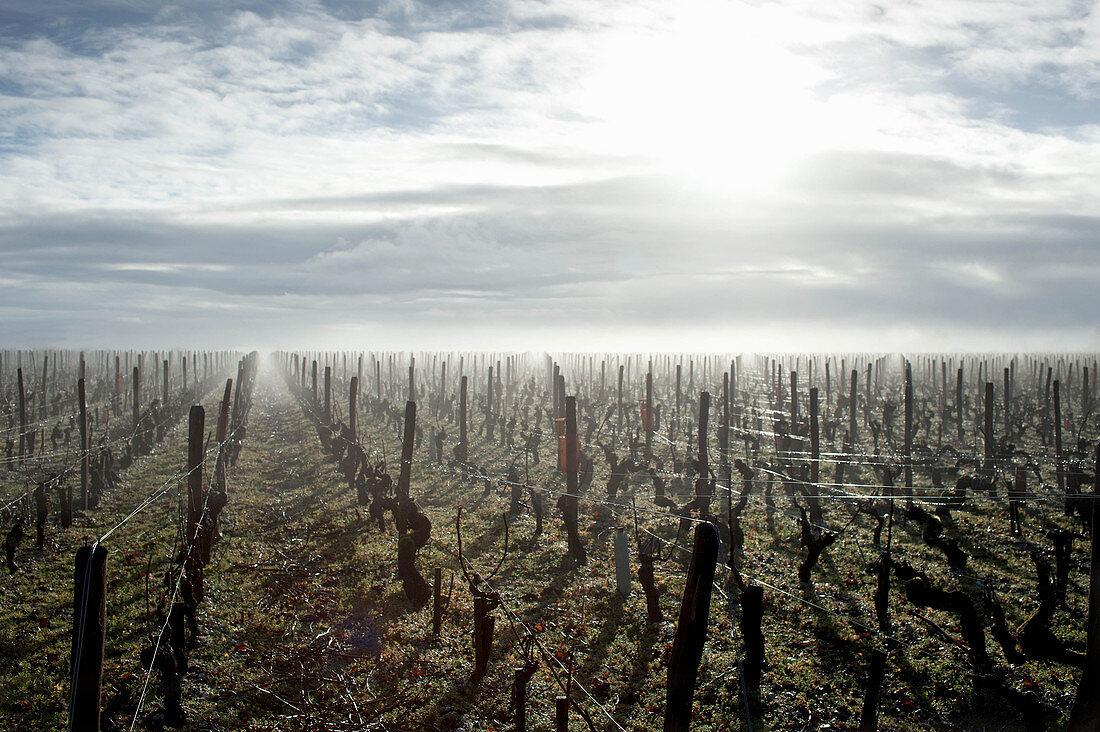 A misty vineyard landscape, Chateau Giscours, Margaux, Bordeaux, France