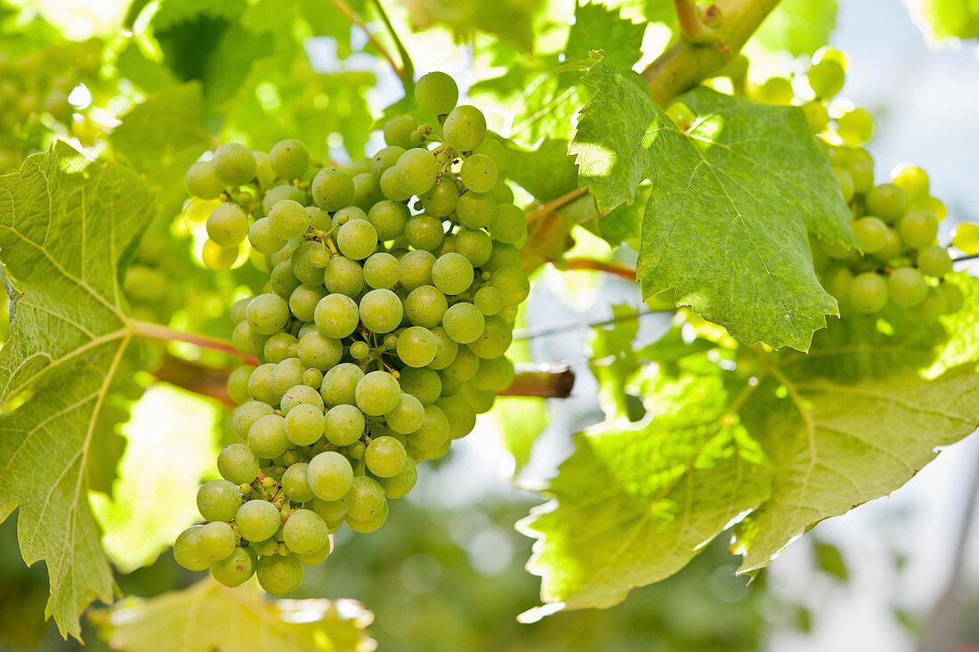 Grapes, Markgraf vineyard, Bodensee, Baden, Germany