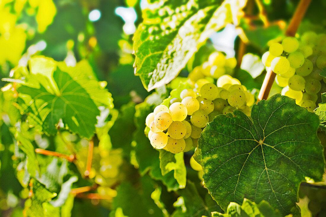 Grapes, Menger-Krug sparkling wine cellar, Palatinate, Germany