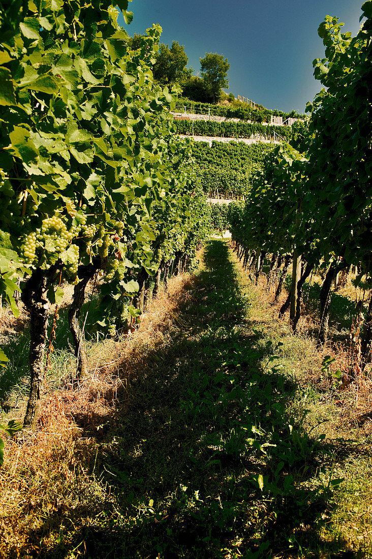 Vineyard landscape, Kaiserstuhl, Baden, Germany