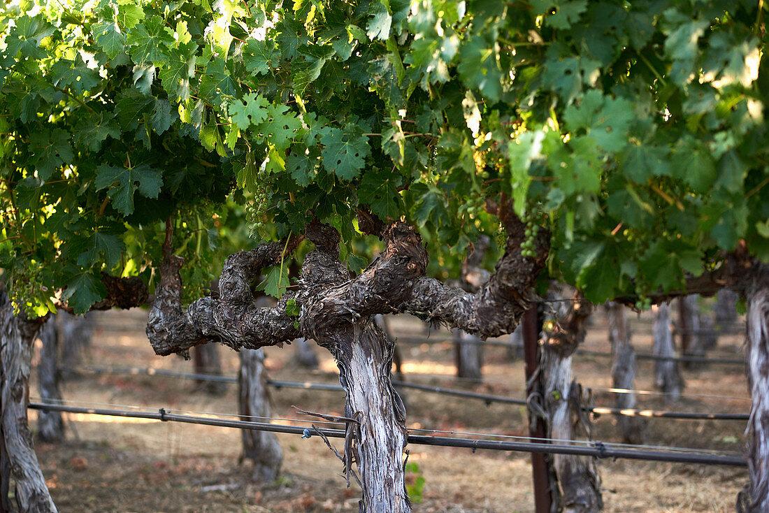 Vines, Napa Valley, California, USA