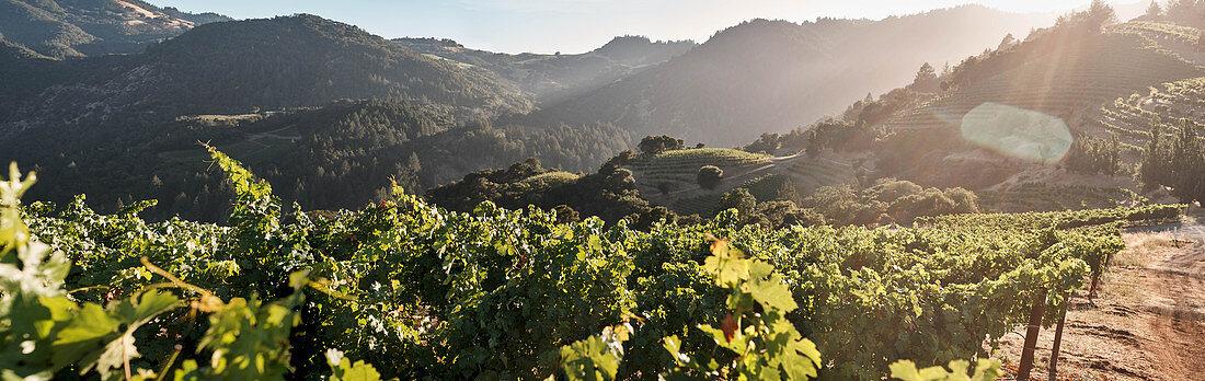 A vineyard landscape, Newton Winery, Napa Valley, California, USA