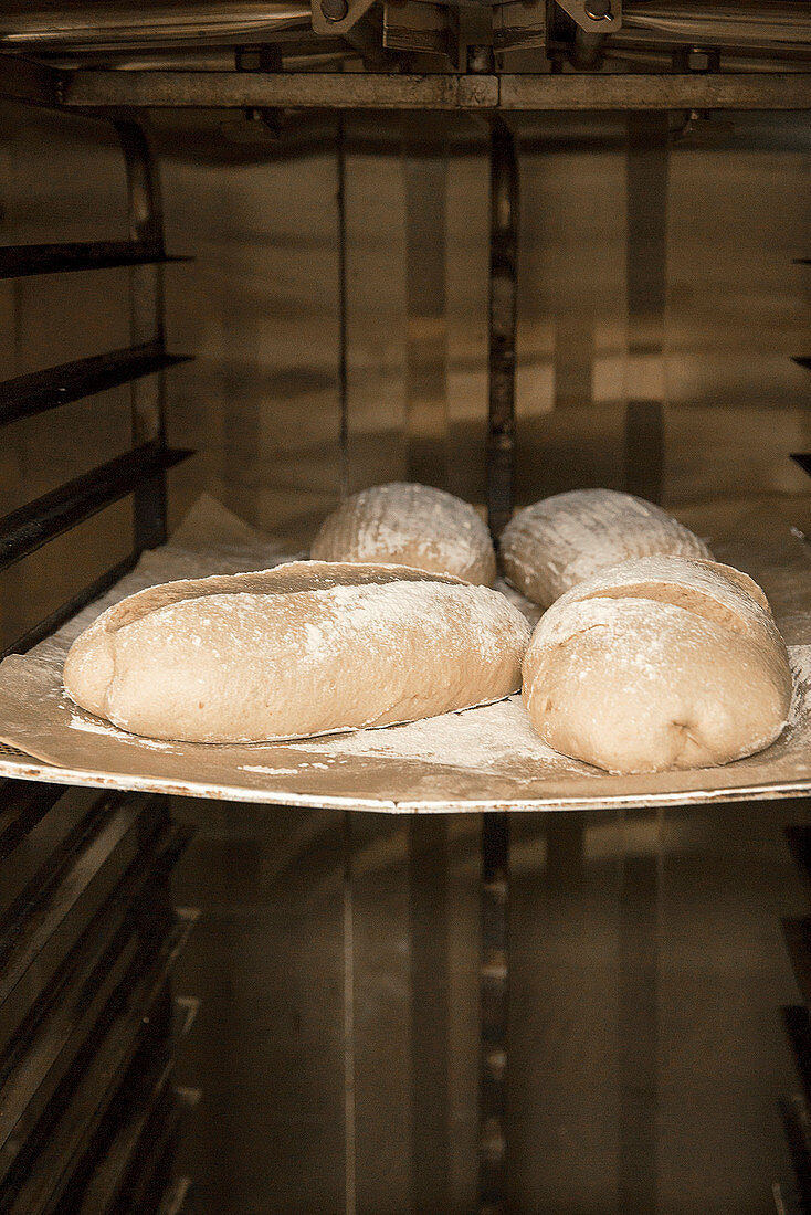 Brown bread being made: rolls left to rise on a baking tray