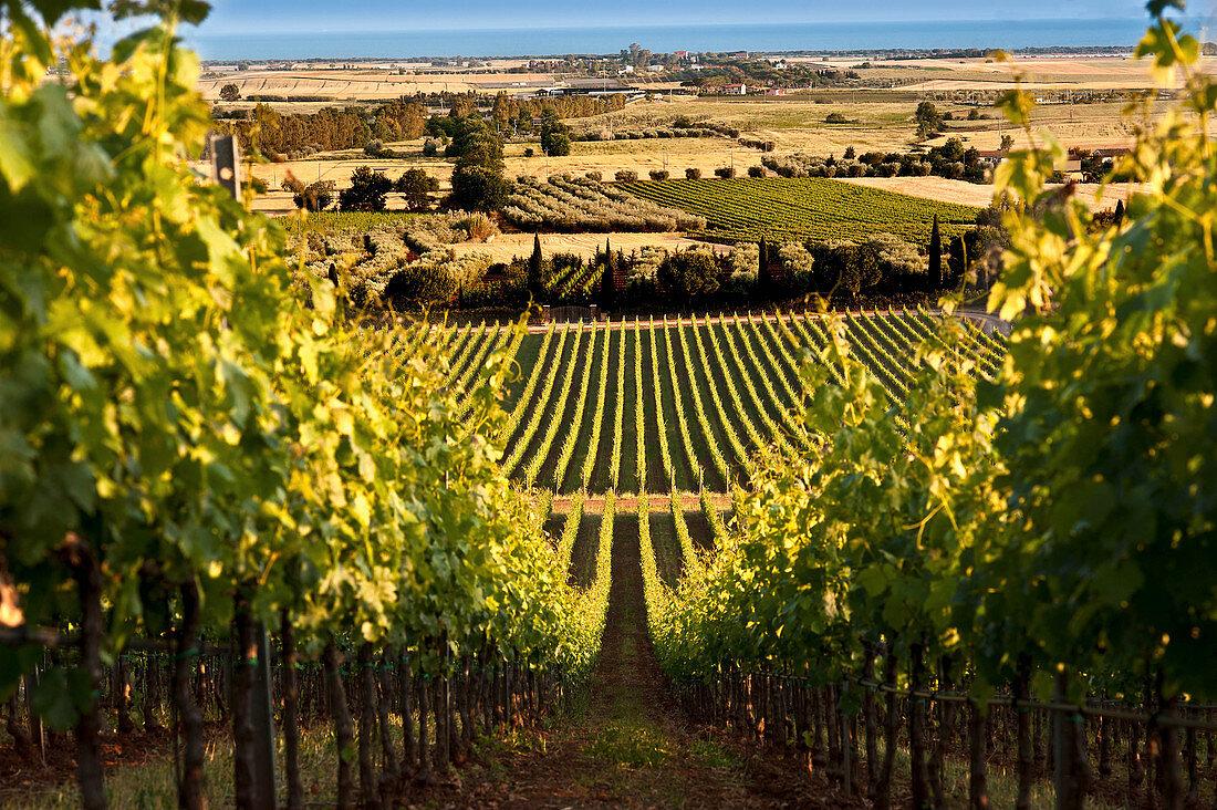 Tenuta Monteverro, vineyard landscape, Maremma, Tuscany, Italy
