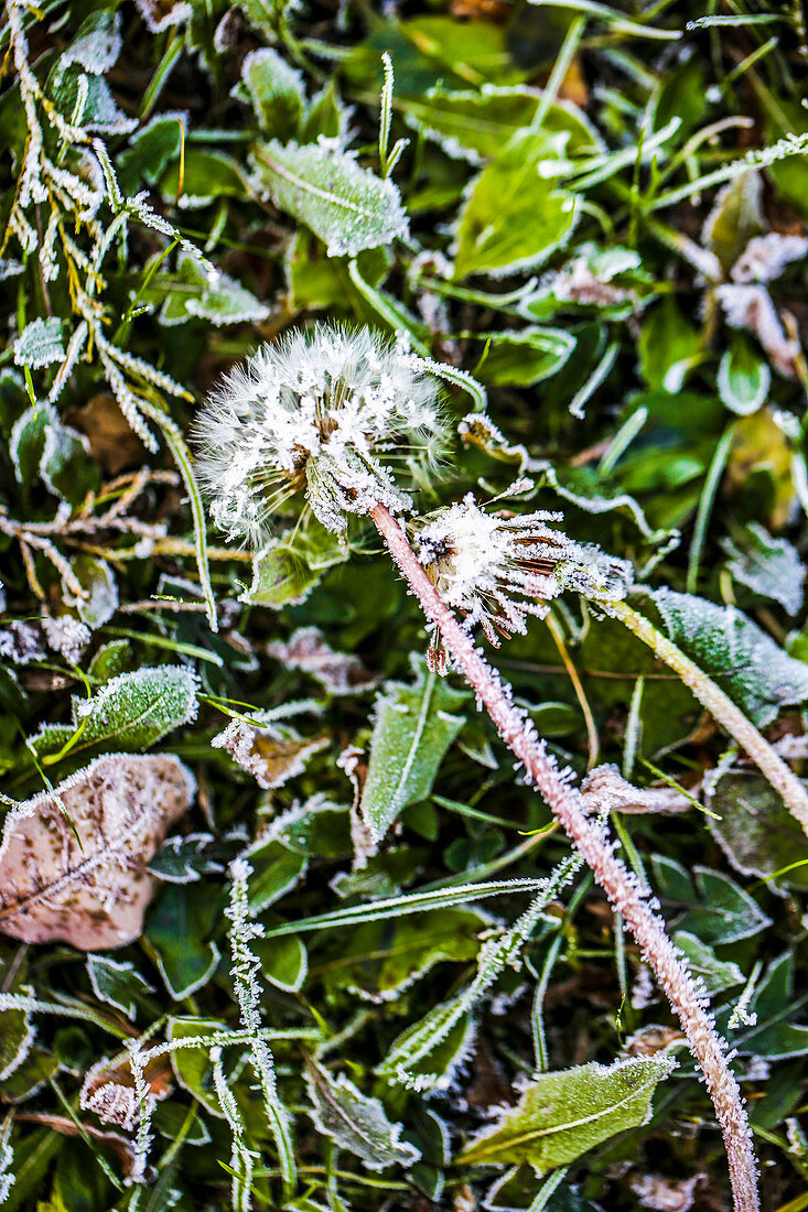 Dandelion after the first frost