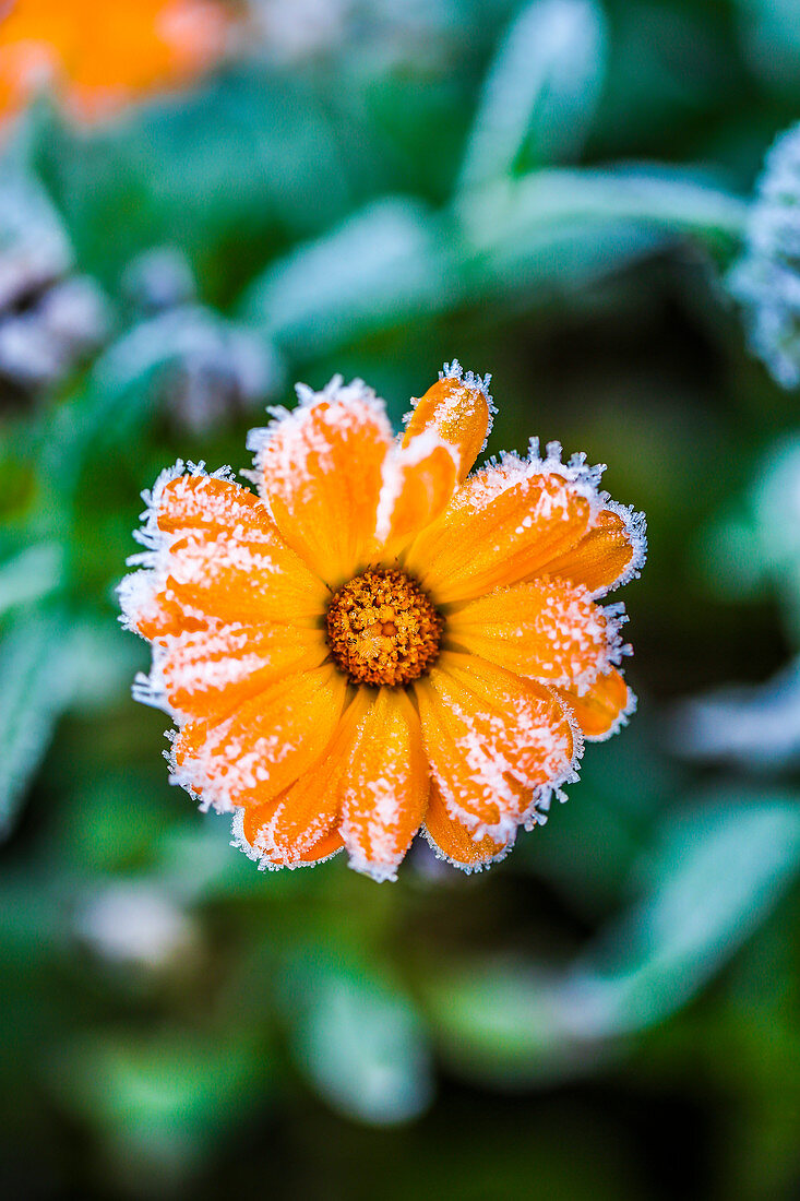 Marigold after the first frost