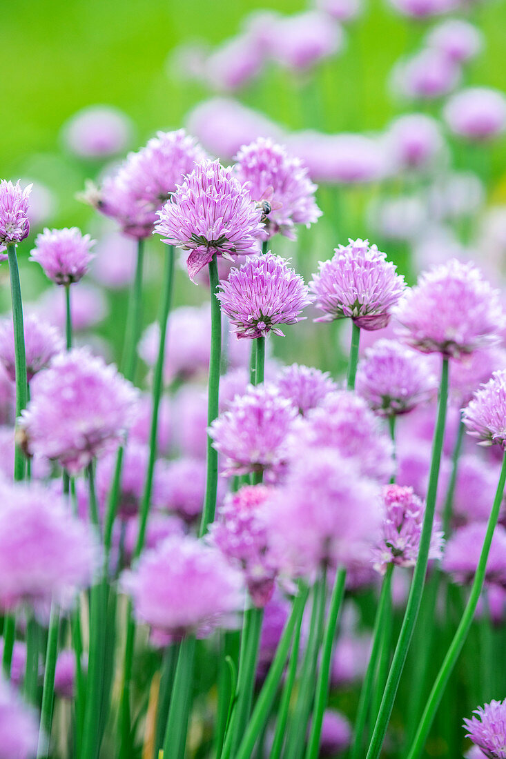 Chive blossoms in the garden