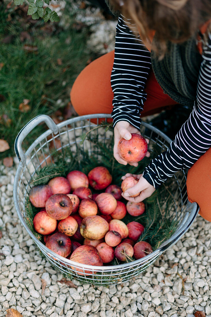 Woman with freshly harvested organic apples in a wire basket
