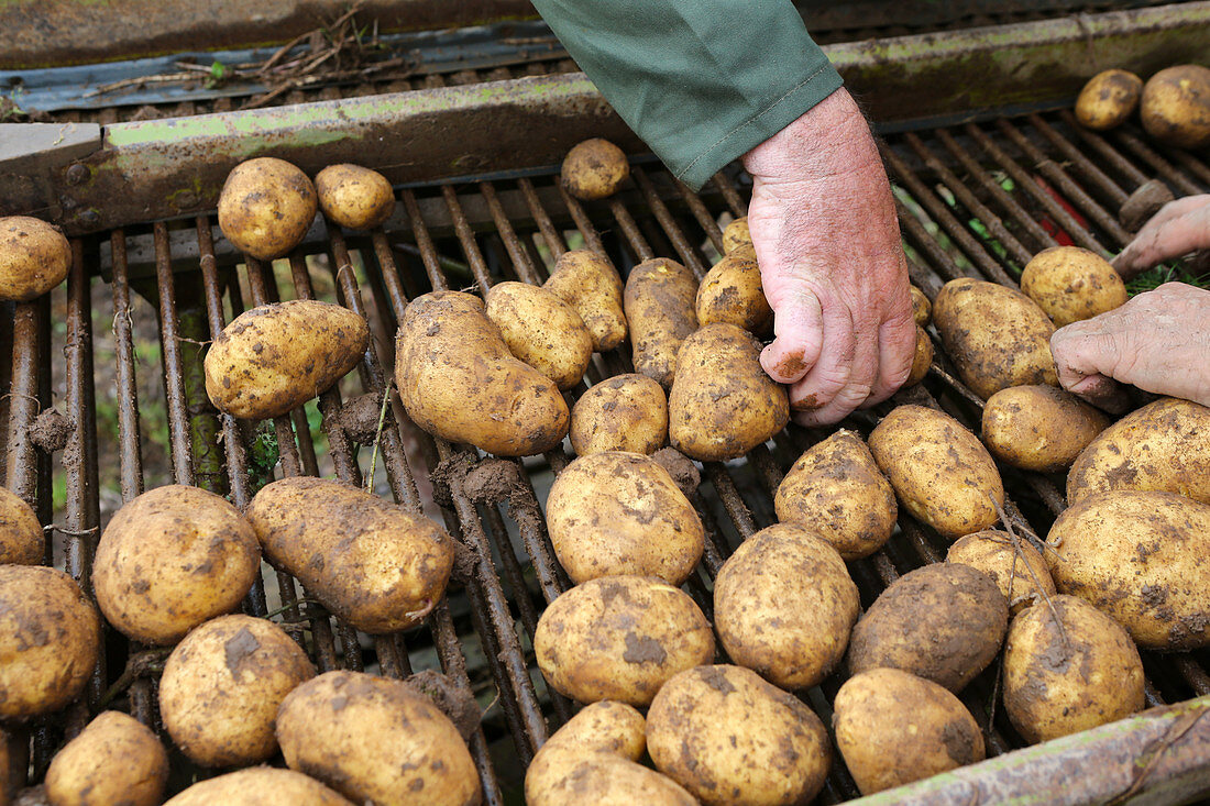 Potato harvest: potatoes are sorted
