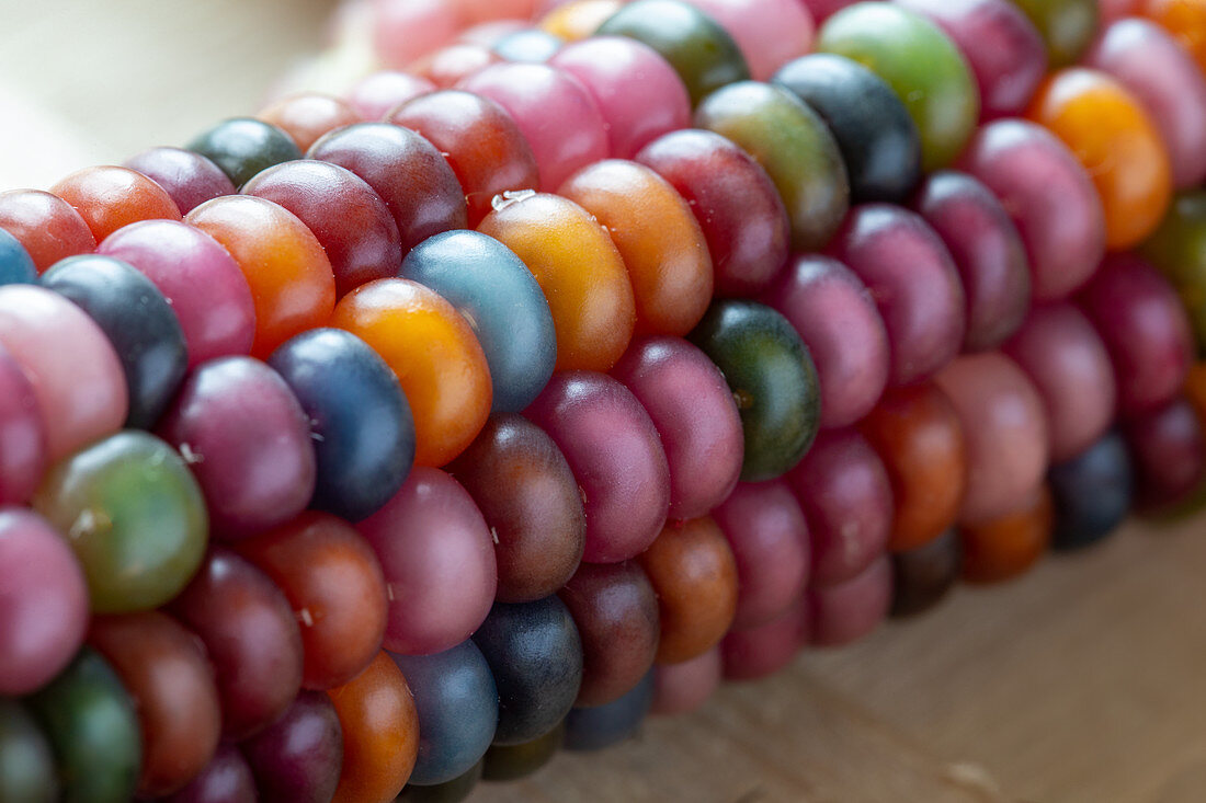 Corn on the cob with colorful grains (close-up)