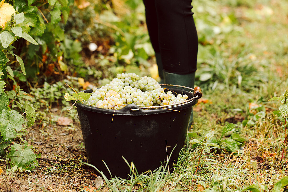 A bucket of freshly harvested white grapes