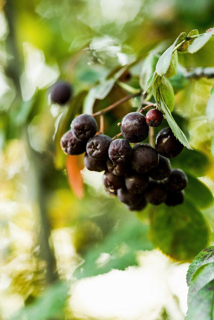 Dark mountain ash berries on the plant