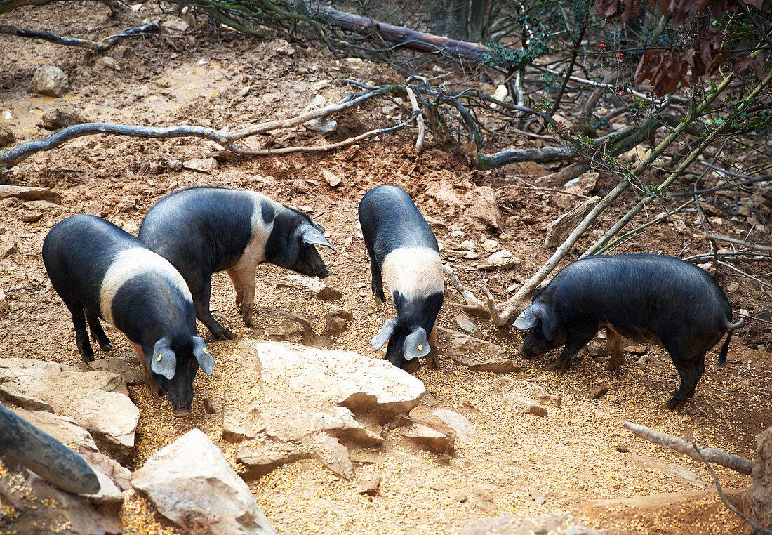 Rare pig breed 'Cinta Senese'