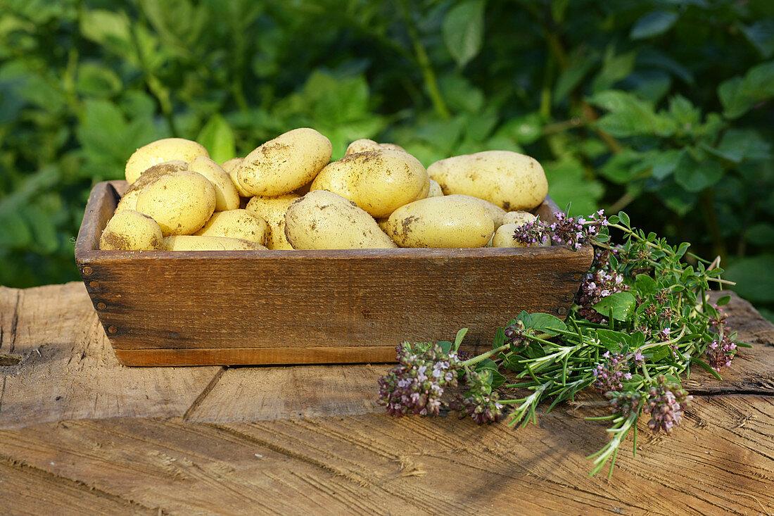 Potatoes thyme oregano rosemary harvest in vegetable garden on wood bench sunny light