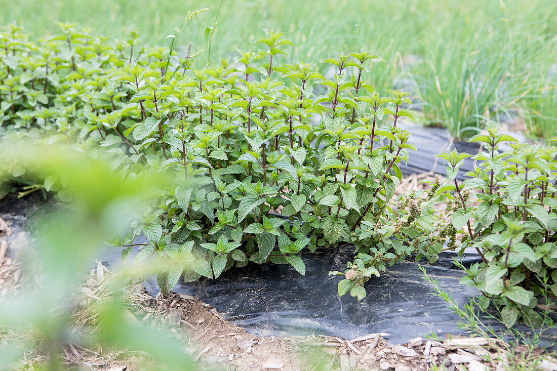 Fresh mint in a field with a polytunnel