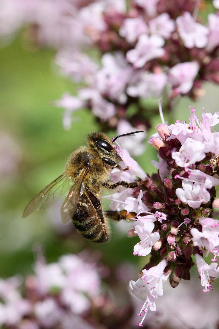 Honey Bee on marjoram flower (oregano)