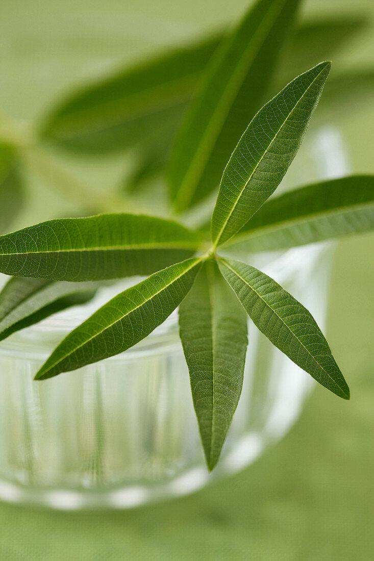 Lemon verbena leaves closeup