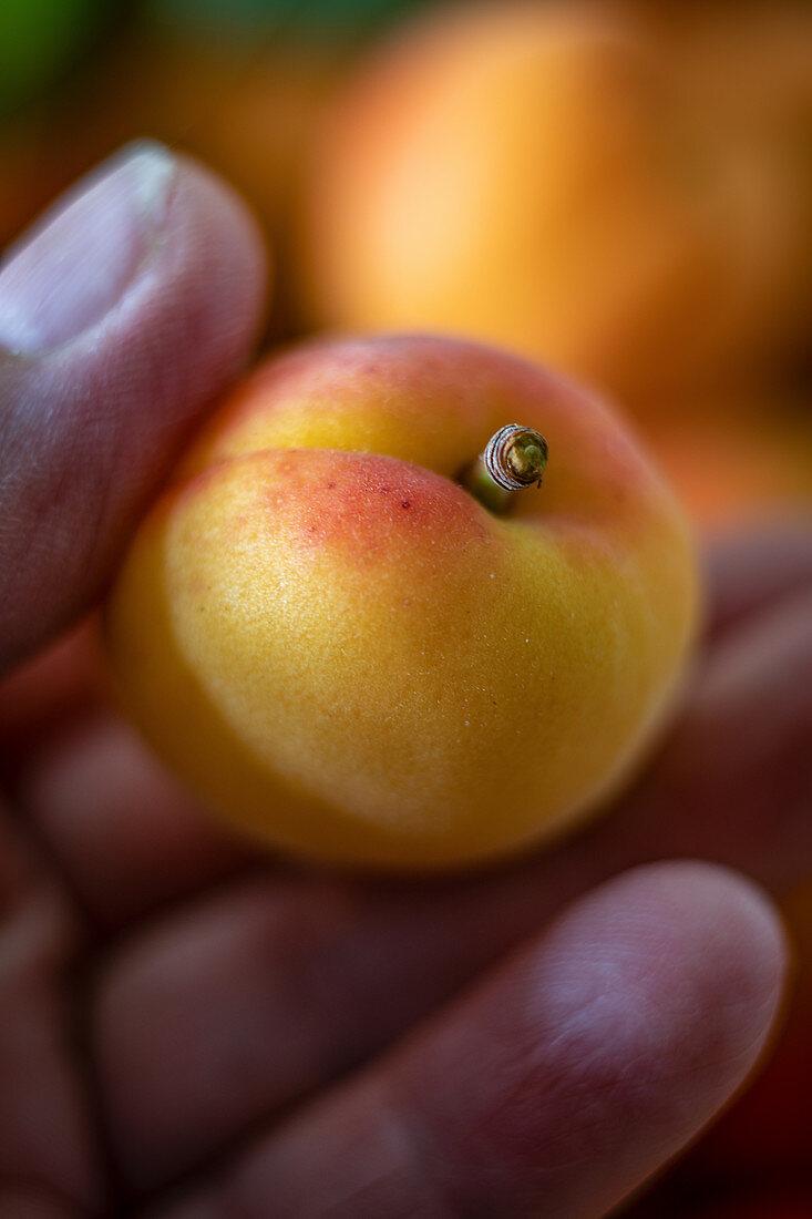 A hand holding a Wachauer Marille (Wachau apricot)