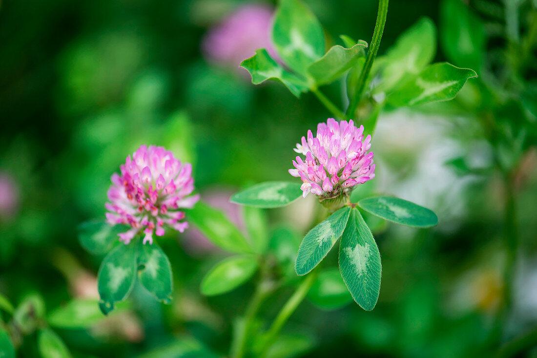 Wiesenklee/ Rotklee (Trifolium pratense)
