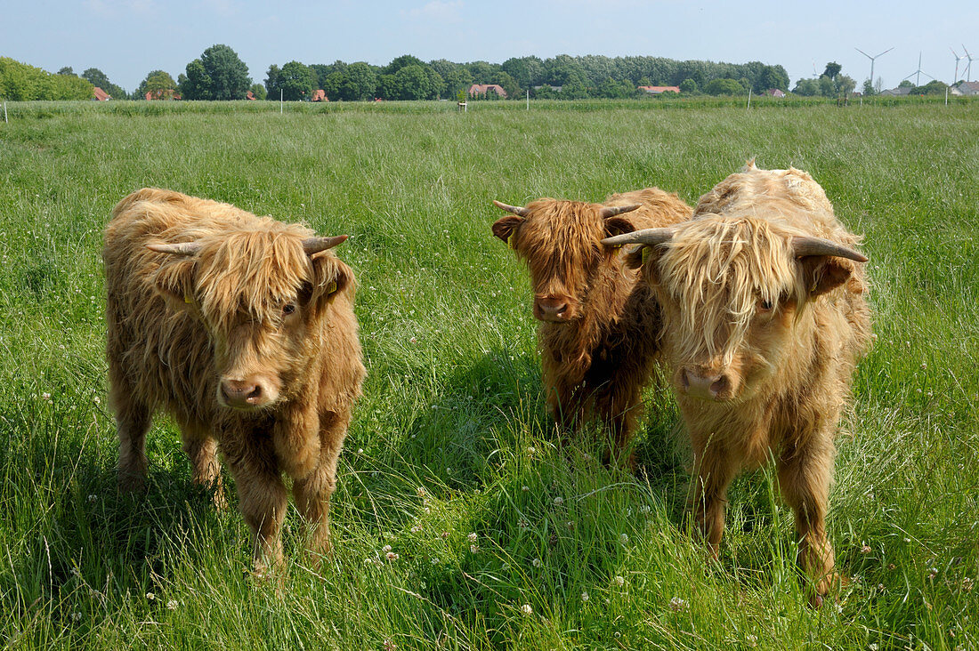 Galloway cattle on a pasture