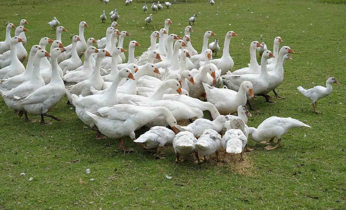 Gänse und Enten auf der Weide