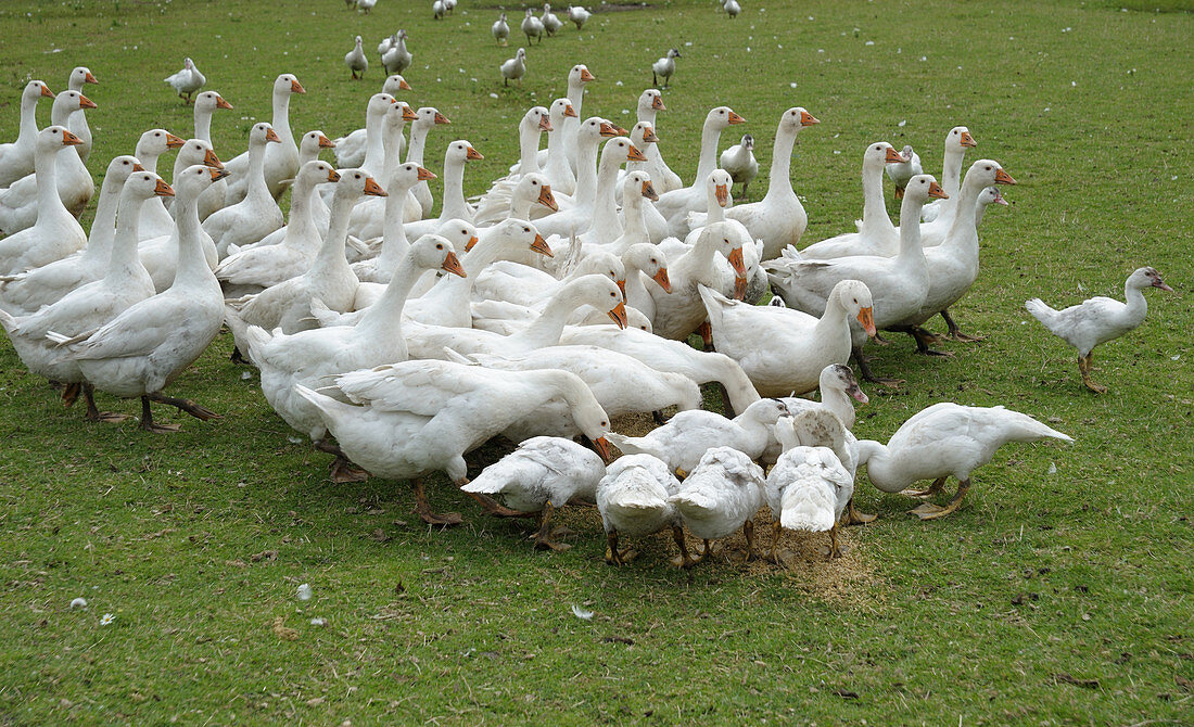 Geese and ducks in a pasture