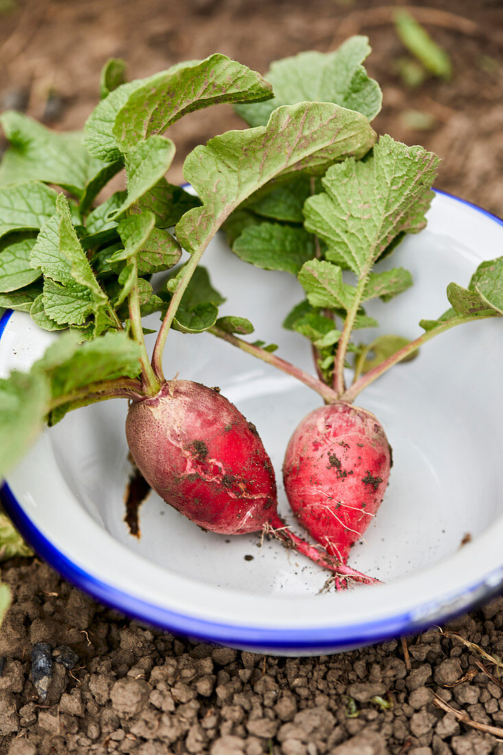 Two freshly picked radishes in an enamel bowl