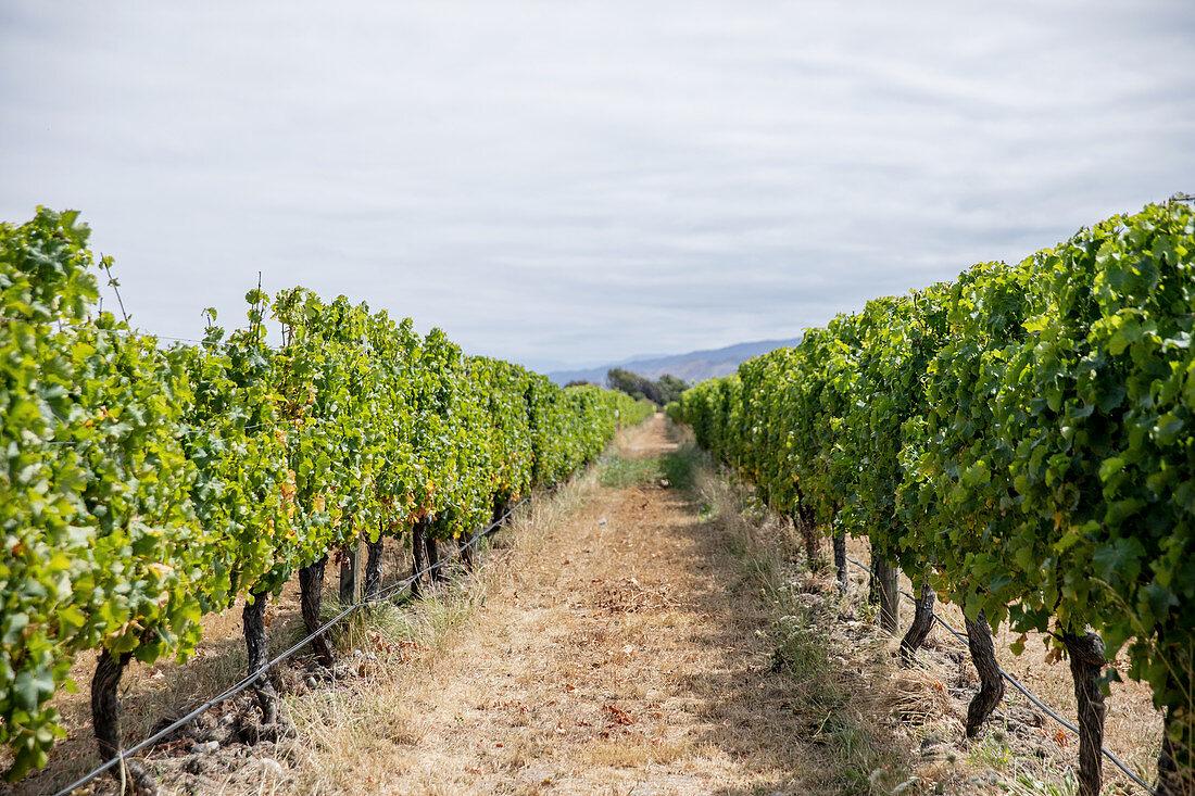A long row of vines in a wine-growing region