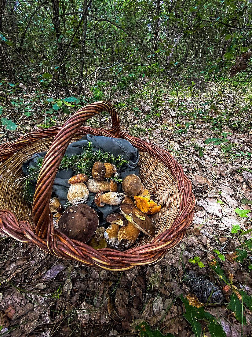 Freshly picked wild mushrooms in a wicker basket in a clearing in a woode