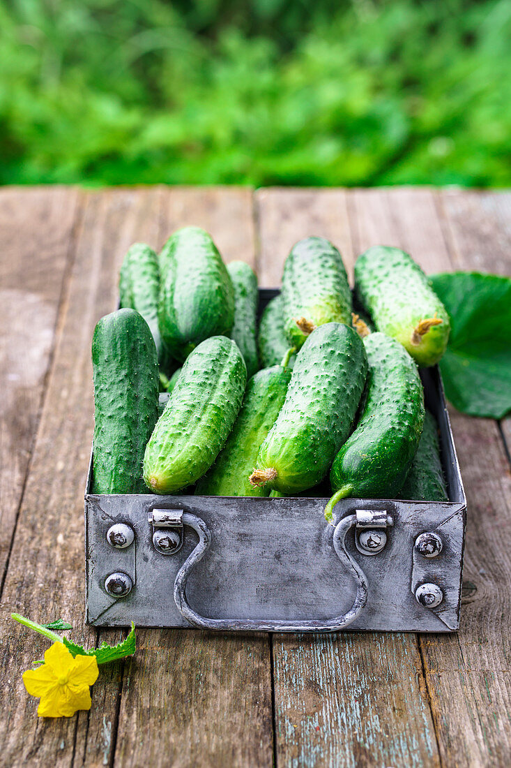 Cucumbers in a metal vintage box on an old table in the garden