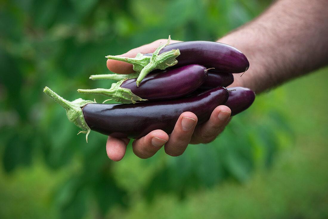 Man holds freshly harvested finger eggplants in his hand