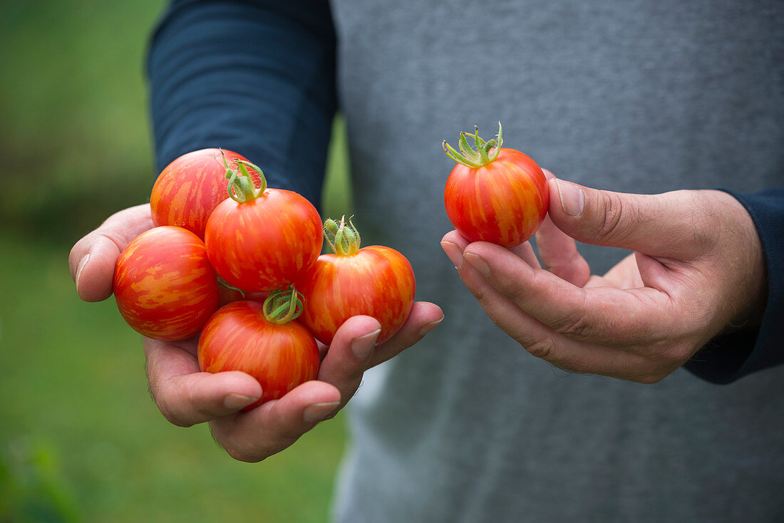 Man holds freshly harvested 'Tigerella' tomatoes in his hands