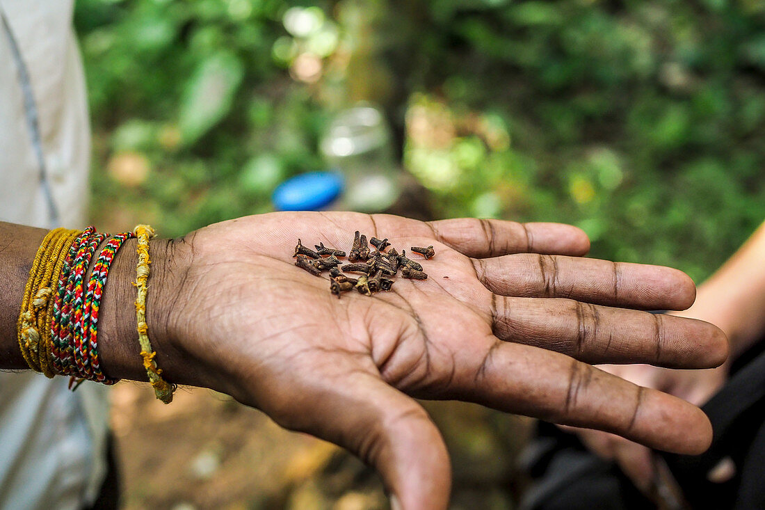 Cloves on the palm of a hand (Sri Lanka)