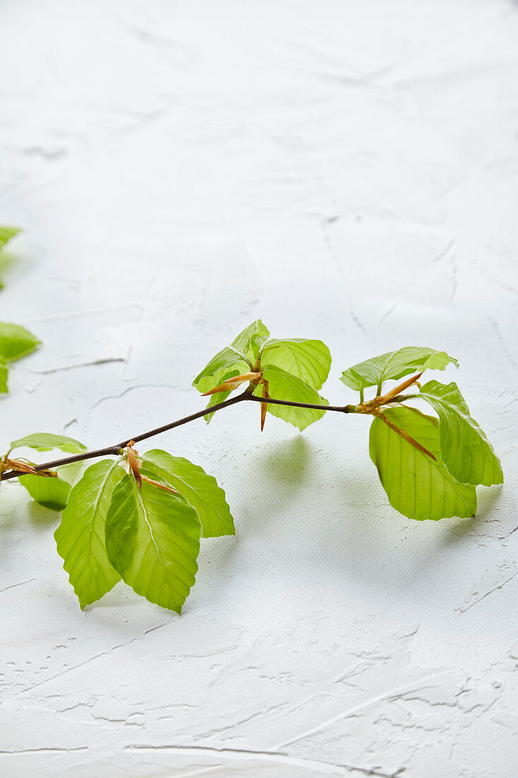 A copper beech sprig with leaves and buds