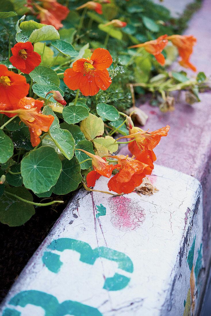 Edible nasturtiums by a roadside