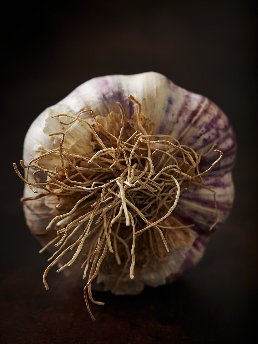 A garlic bulb with roots