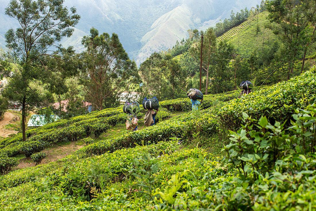 Tea plantation in Kerala, India