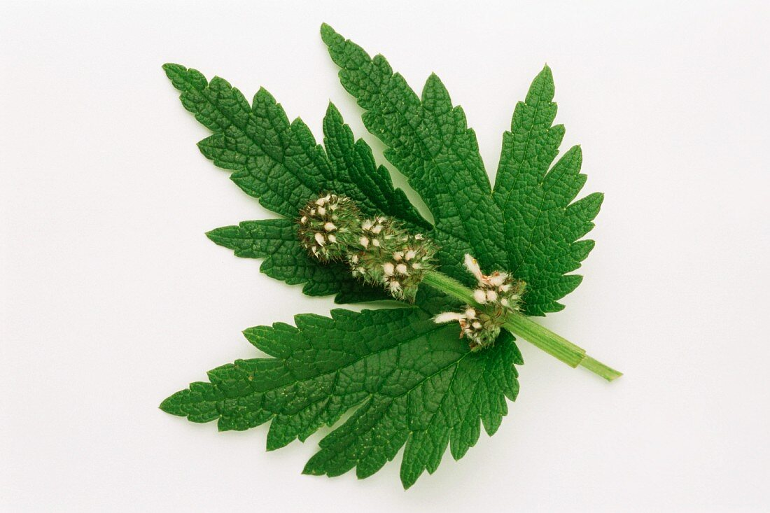 Medicinal herbs: motherwort (Leonurus cardiaca), flower & leaf