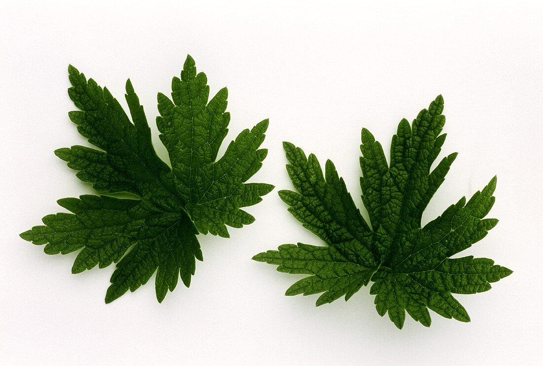 Motherwort, two single leaves on white background