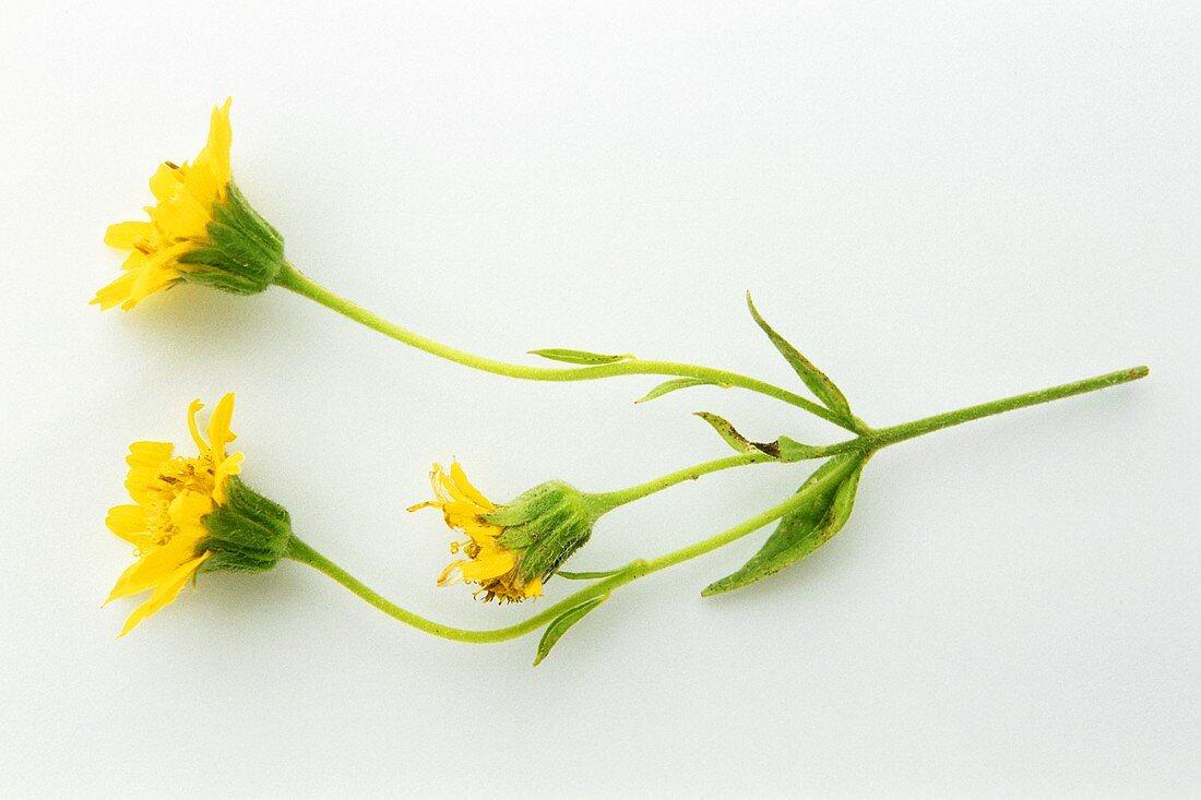 A sprig of flowering arnica