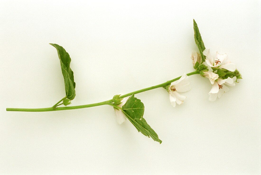 A sprig of flowering marsh mallow (Althaea officinalis)