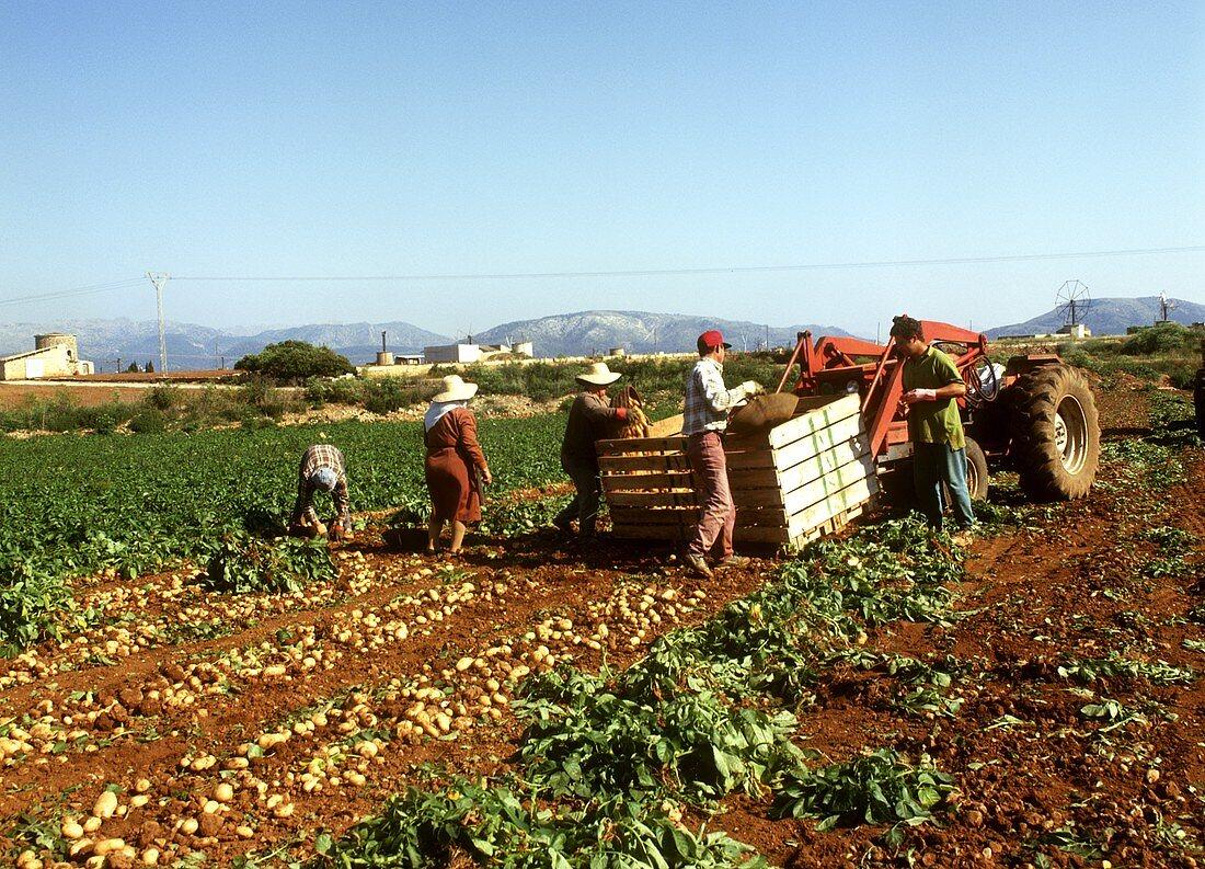 Field workers picking potatoes; Majorca; Spain