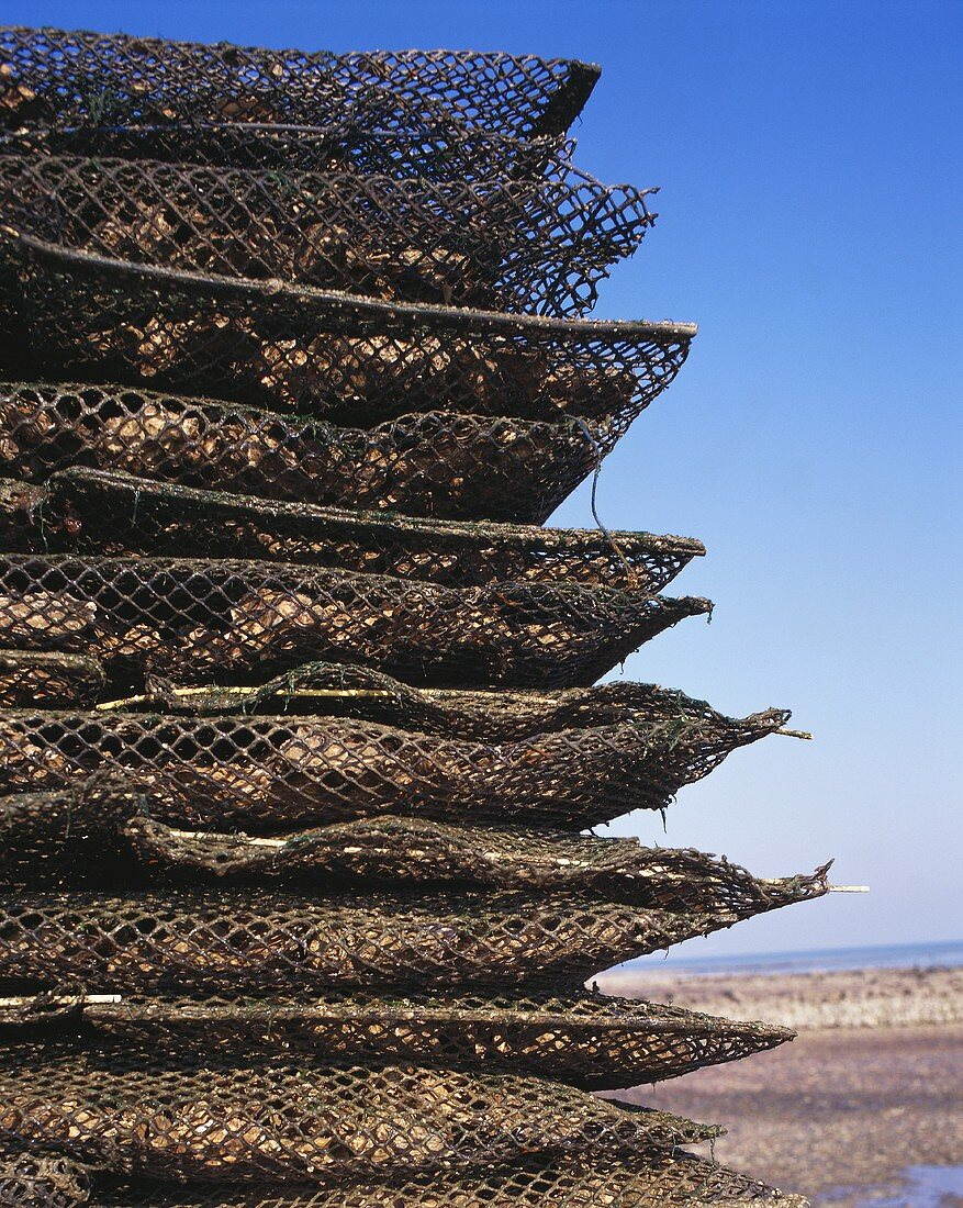 Oysters, in large nets packed for shipment