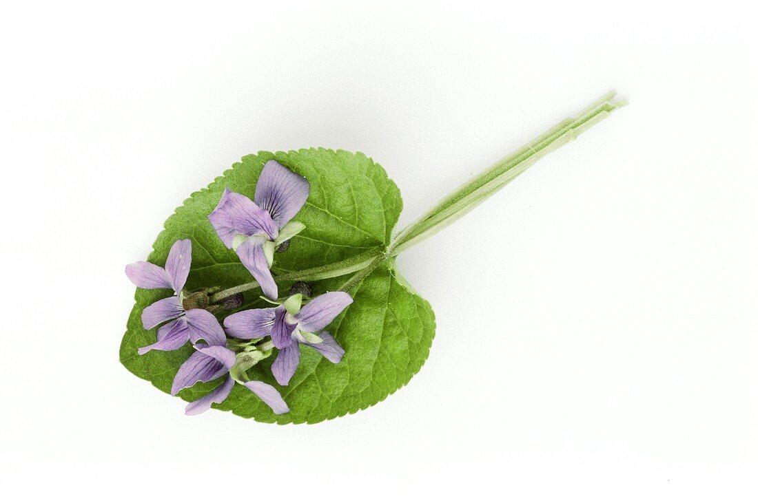 Small posy of sweet violets with leaf (Viola odorata)