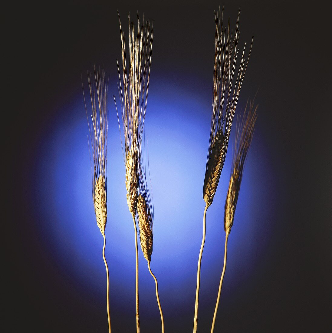 Ears of barley against blue circle of light