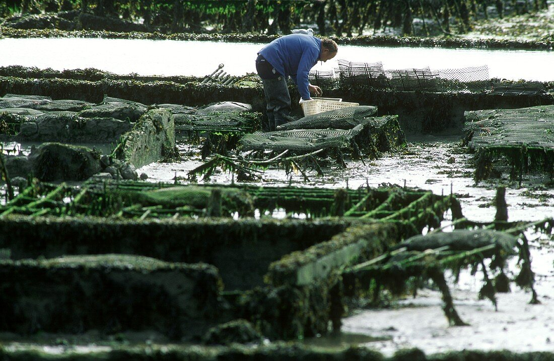 Man harvesting oysters in Cancale (France)